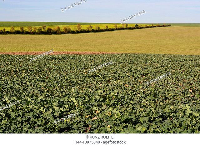 Fields, beetroots, agriculture, Chapelaine, Champagne, Marne, Department, France