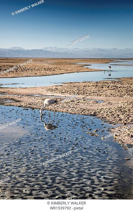 Flamingoes in shallow water at Laguna de Chaxa (Chaxa Lake) at dawn, San Pedro, Chile, South America