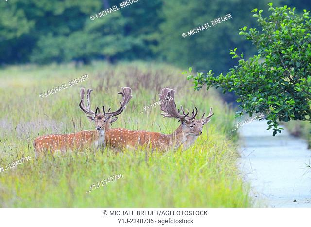 Fallow Deers (Cervus dama) in Summer, Hesse, Germany, Europe