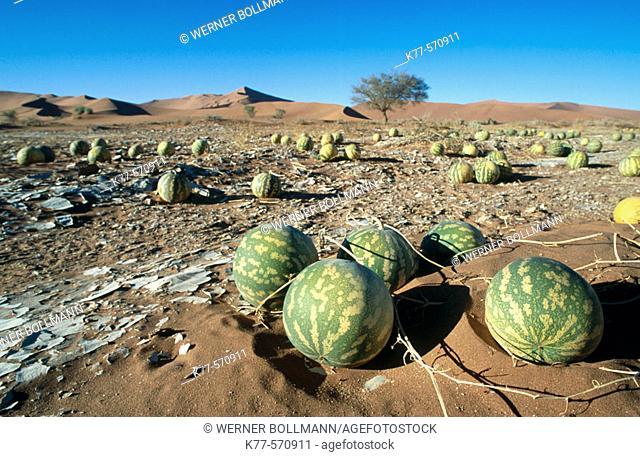 Tsamma melons (Citrullus ecirrhosus). Sesriem. Namibia