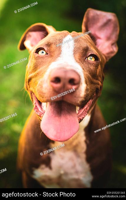 Young pitbull Staffordshire Bull Terrier in garden looks towards camera with tongue out portrait