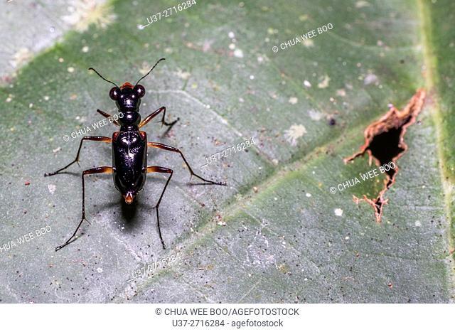 Tiger beetle. Image taken at Kampung Skudup, Sarawak, Malaysia