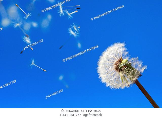 Dandelion, Dandelions, Taraxacum officiale, Blue Sky, Flower, Plant, Digital Composition