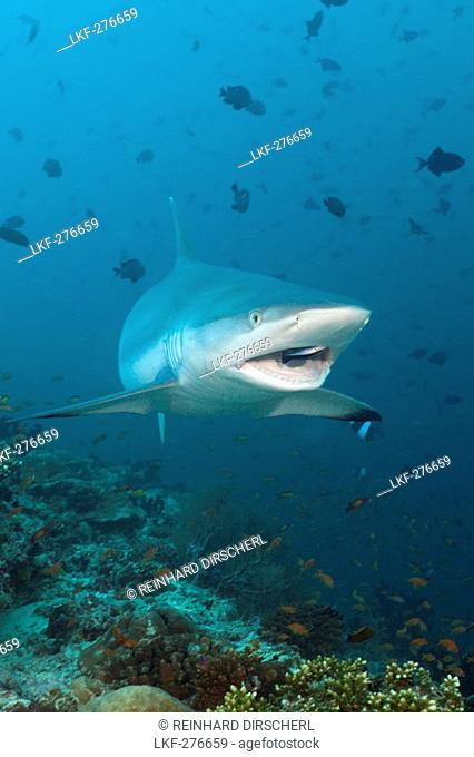 Grey Reef Shark with Cleaner Wrasse, Carcharhinus amblyrhynchos, Labroides dimidiatus, Maldives, Hafsaa Thila, North Ari Atoll