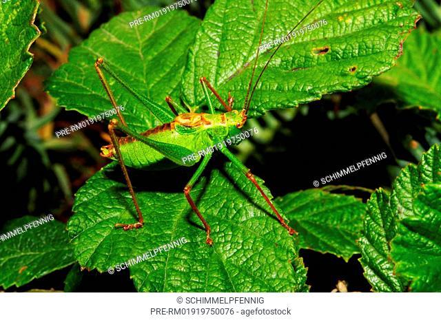Speckled bush-cricket, Leptophyes punctatissima, male / Punktierte Zartschrecke, Leptophyes punctatissima, Männchen