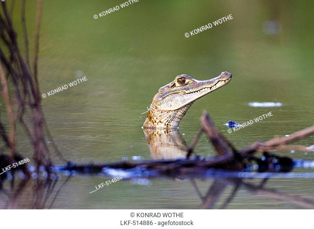 Young Caiman in the Rainforest at Tambopata river, Tambopata National Reserve, Peru, South America