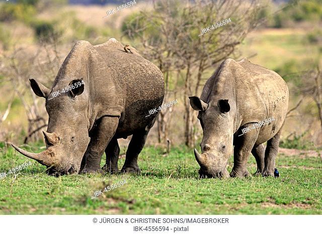 White rhinoceroses (Ceratotherium simum), dam with young animal, feeding, foraging, Hluhluwe-iMfolozi National Park, KwaZulu Natal, South Africa
