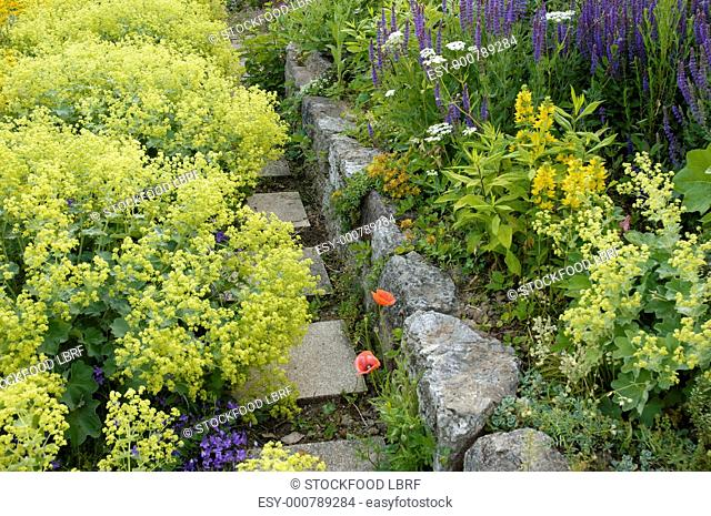 Garden path with lady's mantle Alchemilla vulgaris