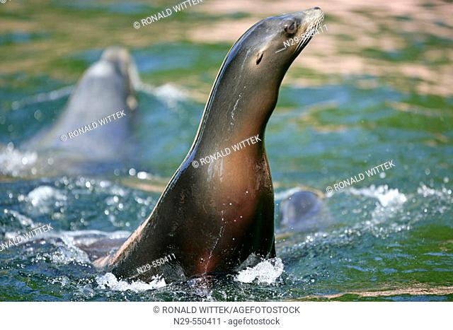 Zalophus californianus, Californian Sea Lions, captive