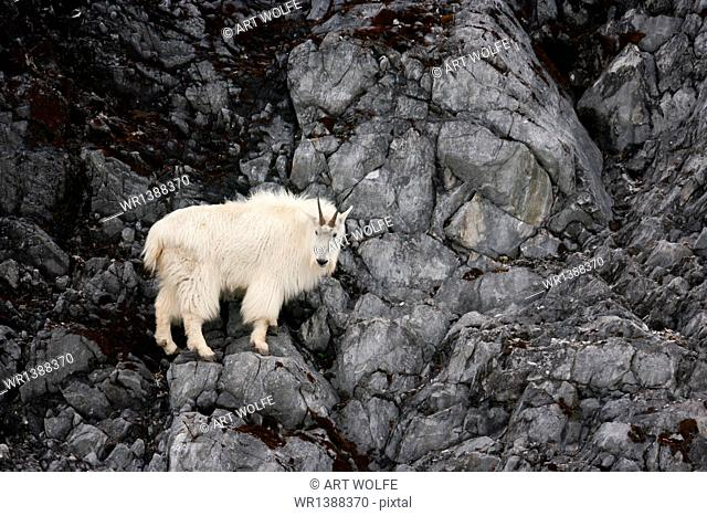Mountain Goat, Glacier Bay National Park and Preserve, Alaska, USA