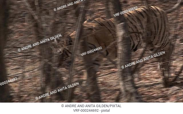 Bengal Tiger prowling through forest