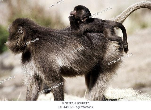 Baboon carrying young on back, Simien Mountains National Park, Ethiopia