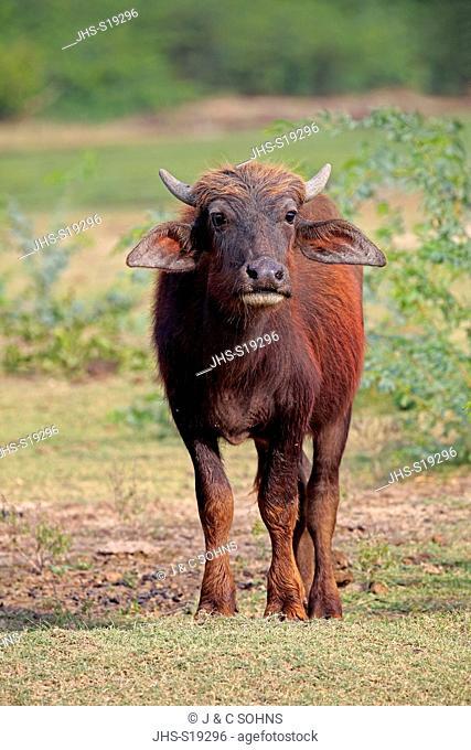 Water Buffalo, (Bubalis bubalis), young, calf, Bundala Nationalpark, Sri Lanka, Asia
