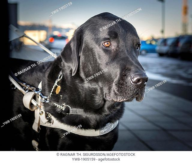 Black Labrador Retriever Male with collar leading blind person