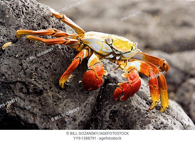 Sally Lightfoot Crab Red Rock Crab at Barge Beach - Santa Cruz Island, Galapagos Islands, Ecuador