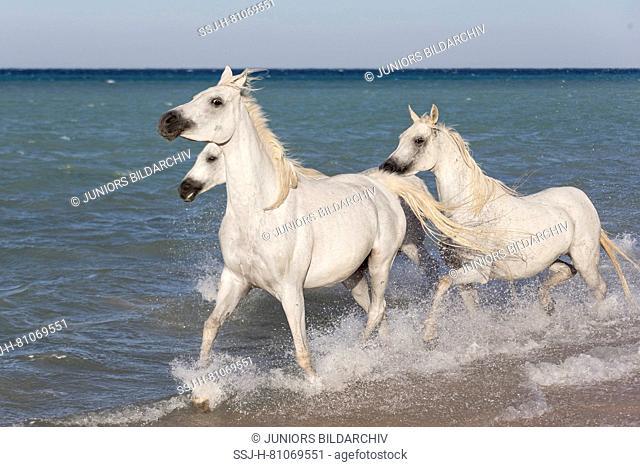 Arabian Horse. Three gray mares trotting in the sea. Egypt