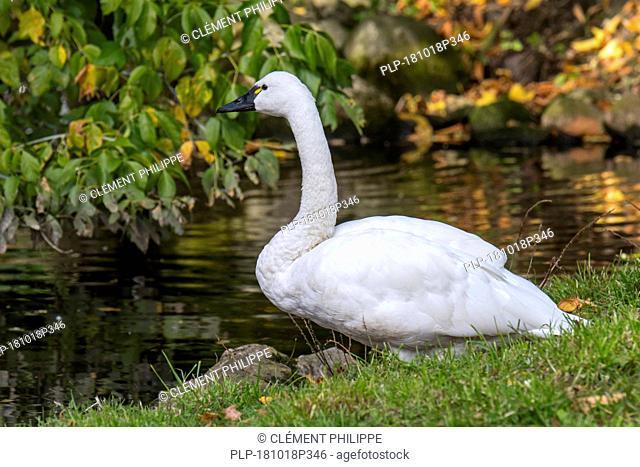 Tundra swan / whistling swan (Cygnus columbianus columbianus) native to North America