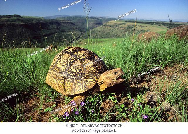 Leopard tortoise (Geochelone pardalis). Umgeni Valley Reserve, Kwa-ZuluNatal. South Africa