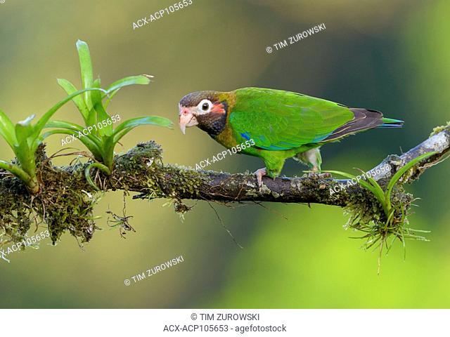 Brown-hooded-Parrot (Pyrilia haematotis) - at Laguna Lagarto Lodge near Boca Tapada, Costa Rica