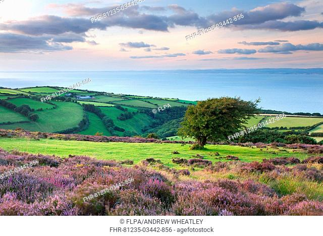 View of flowering heather blowing in breeze and coastal farmland at sunset, Porlock Hill, Worthy Wood, Culbone, Exmoor N P , Somerset, England, august