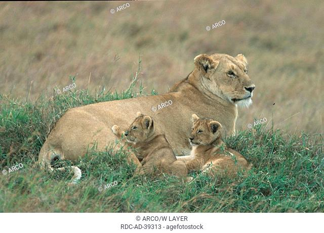 African Lions lioness with cubs Kenya Panthera leo
