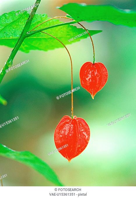 ground cherry, nature, fruit, bladdercherry, plant, film