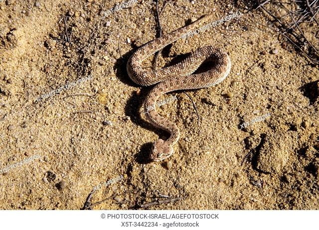 Sahara sand viper (Cerastes vipera) burying itself in the sand The Sahara sand viper is a venomous viper species found in the deserts of North Africa