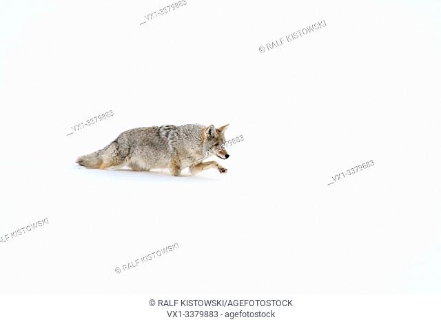 Coyote ( Canis latrans ), in winter, walking through deep fresh snow, lifting its paw above the snow, Yellowstone NP, USA
