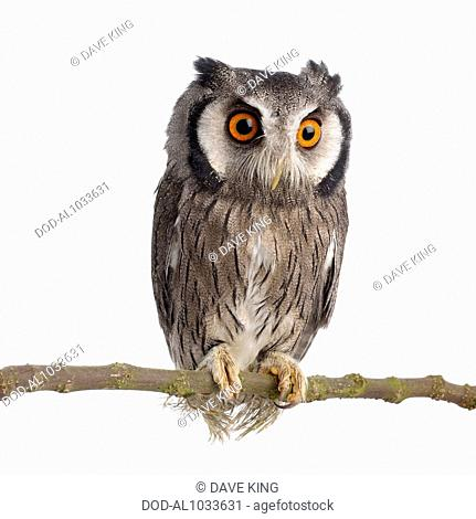 Young Southern White-faced Owl (Ptilopsis granti)