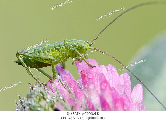 A dew covered species of juvenile bush cricket (family Tettigoniidae) resting on a red clover on a cool late spring morning in a meadow