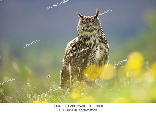 European eagle owl Bubo bubo perched on rock in flower meadow captive, Scotland, July 2007