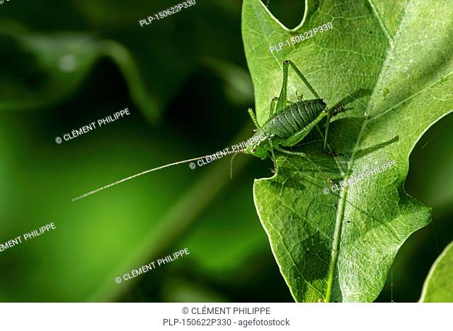 Speckled bush-cricket (Leptophyes punctatissima) male on leaf