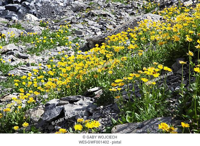 Switzerland, Valais, Leukerbad, View of flowers