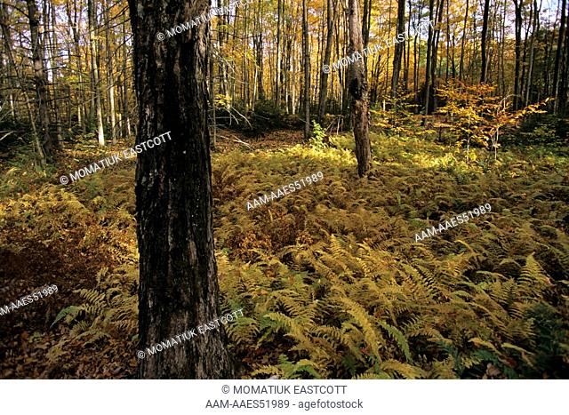 Forest Floor with Ferns in Autumn, deciduous, VT, Vermont