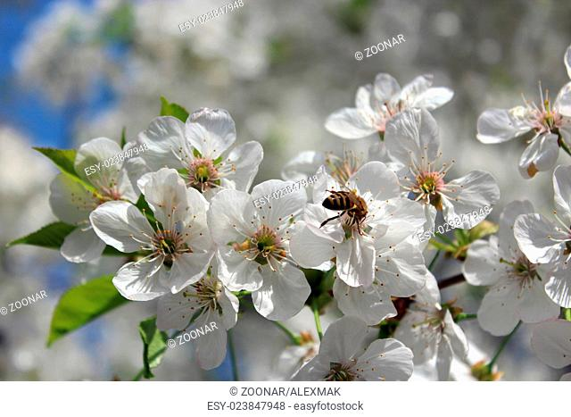 bee on the branch of the blossoming cherry in the