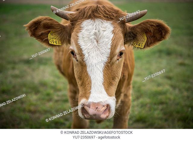 cow on pasture in Poland (Mazovia region)