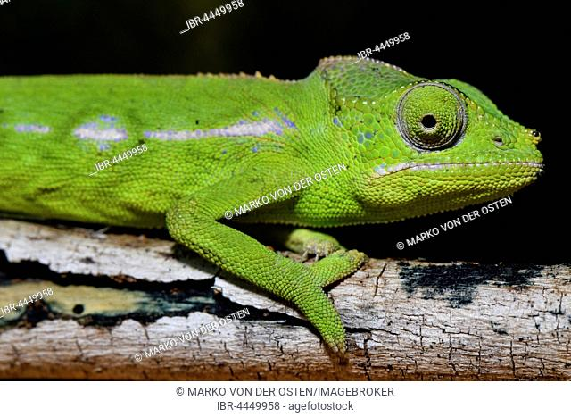 Belalanda chameleon (Furcifer belalandaensis), female, Belalanda, Madagascar