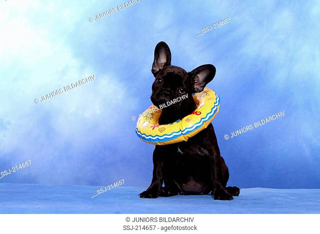 French Bulldog. Puppy (12 weeks old) sitting in a swim ring. Studio picture against a blue background. Germany