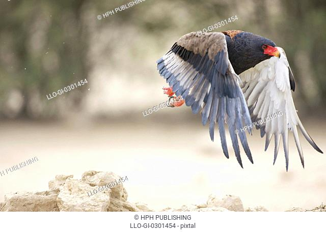 A Bateleur Eagle in flight, Kgalagadi Transfrontier Park, Northern Cape Province, South Africa