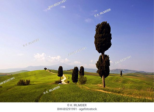 Italian cypress (Cupressus sempervirens), field path and cypresses in hilly landscape, Italy, Tuscany, Pienza