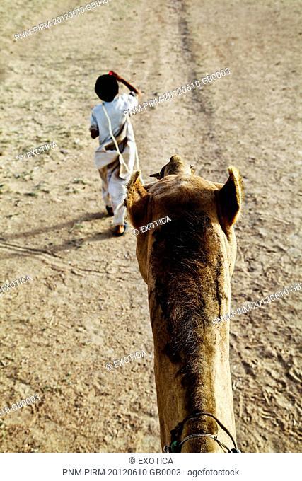 Boy leading a camel in desert, Jaisalmer, Rajasthan, India