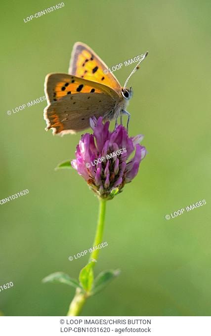 A small Copper butterfly at St Catherines Hill in Hampshire