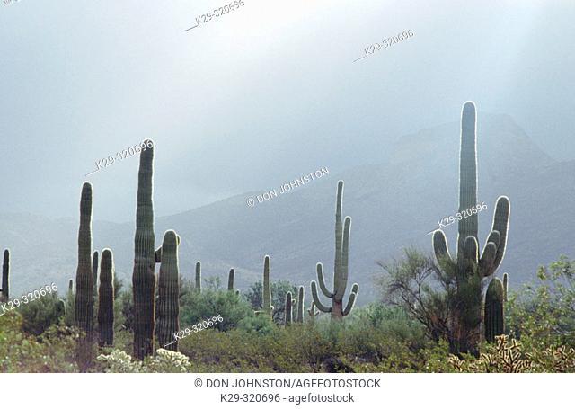 Giant saguaro cactus in winter rain squall. Organ Pipe Cactus National Monument. Sonoran desert. Arizona. USA