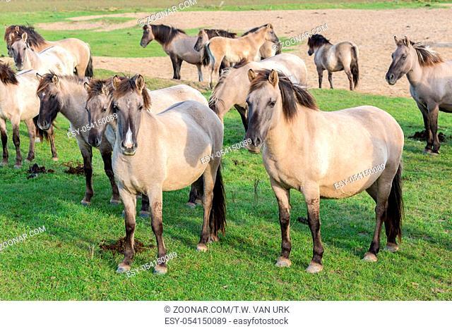 Dutch National Park Oostvaardersplassen with herd of Konik horses. In this new wilderness lives about 1000 wild horses
