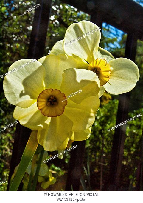 Daffodil or Narcissus flowers