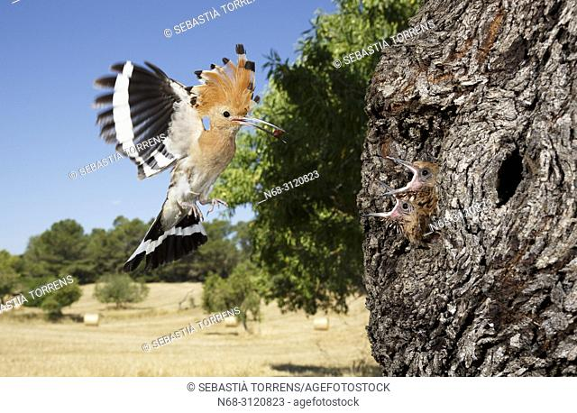 Hoopoe (Upupa epops) feeding their youngs in the nest, Montuiri, Majorca, Balearic Islands, Spain