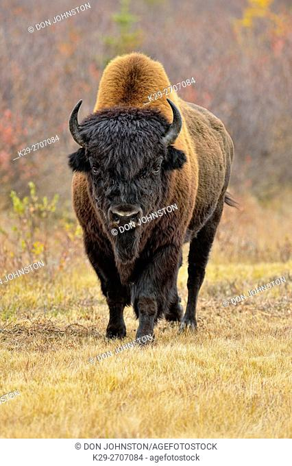 Wood bison/buffalo (Bison bison athabascae) Roadside bull in autumn, Behchoko, Northwest Territories, Canada