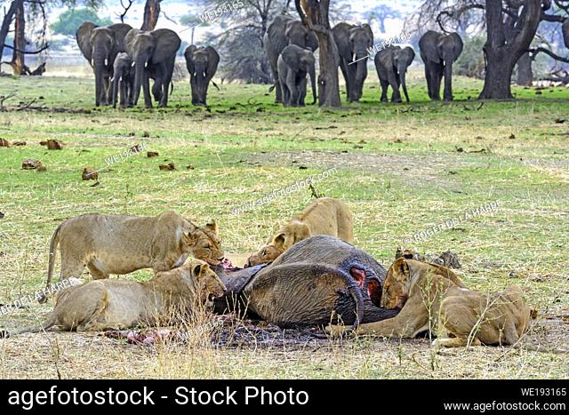 Masai lion or East African lion (Panthera leo nubica syn. Panthera leo massaica) feeding on an African bush elephant (Loxodonta africana) that they have killed...