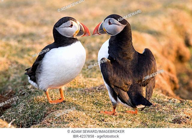 Atlantic puffins (Fratercula arctica) beak tapping, Fair Isle, Shetland Islands, Scotland, Great Britain