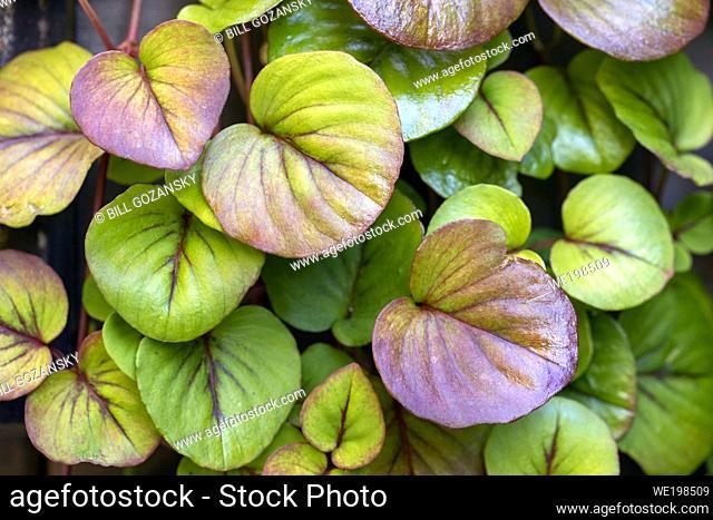 Dense green leaf pattern background - Asheville, North Carolina, USA